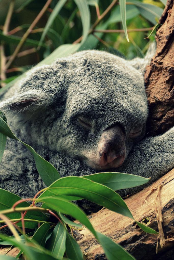 Спящая коала 1