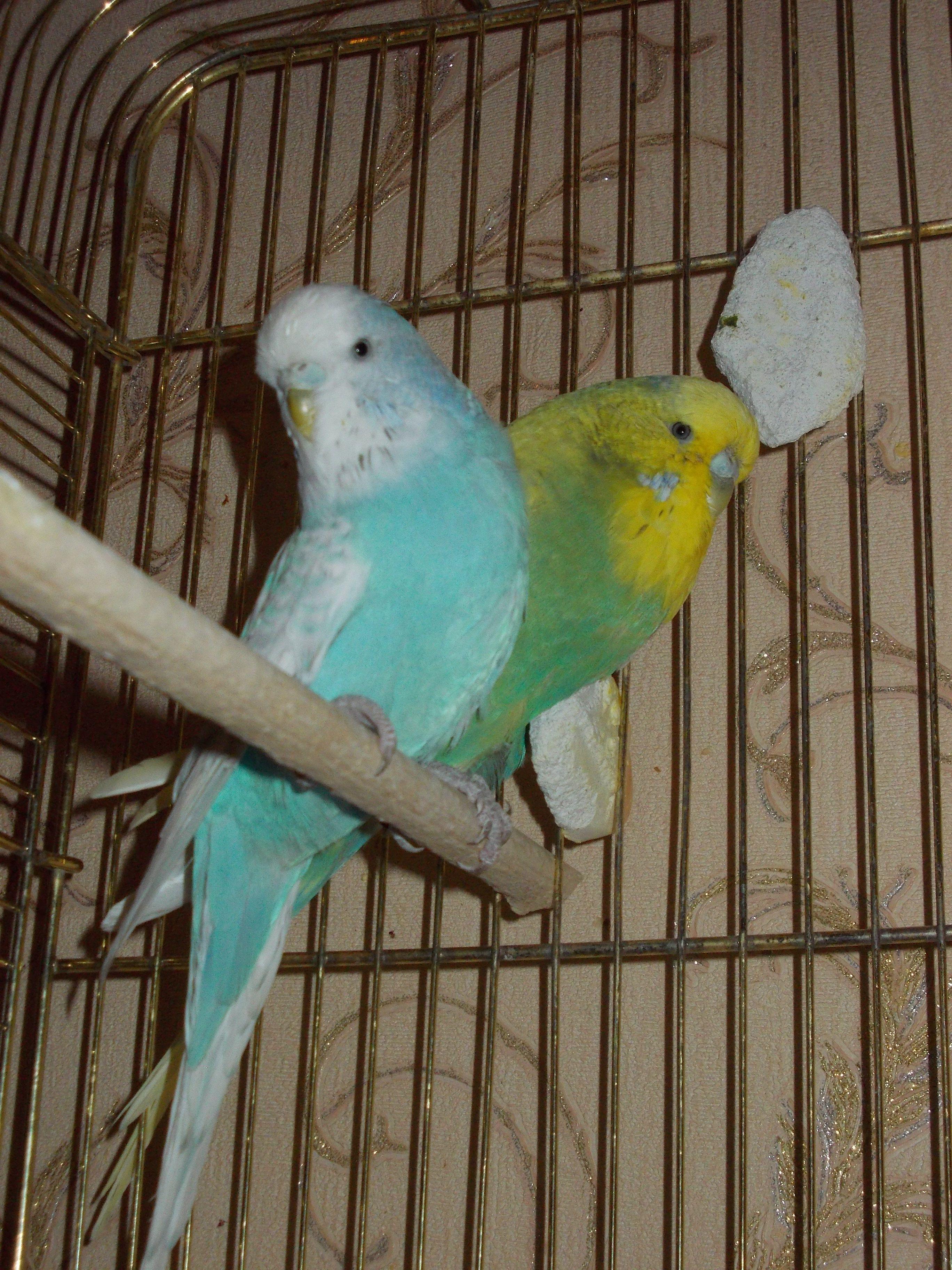Окрасы волнистых попугаев - цвета, фото разных окрасов 69