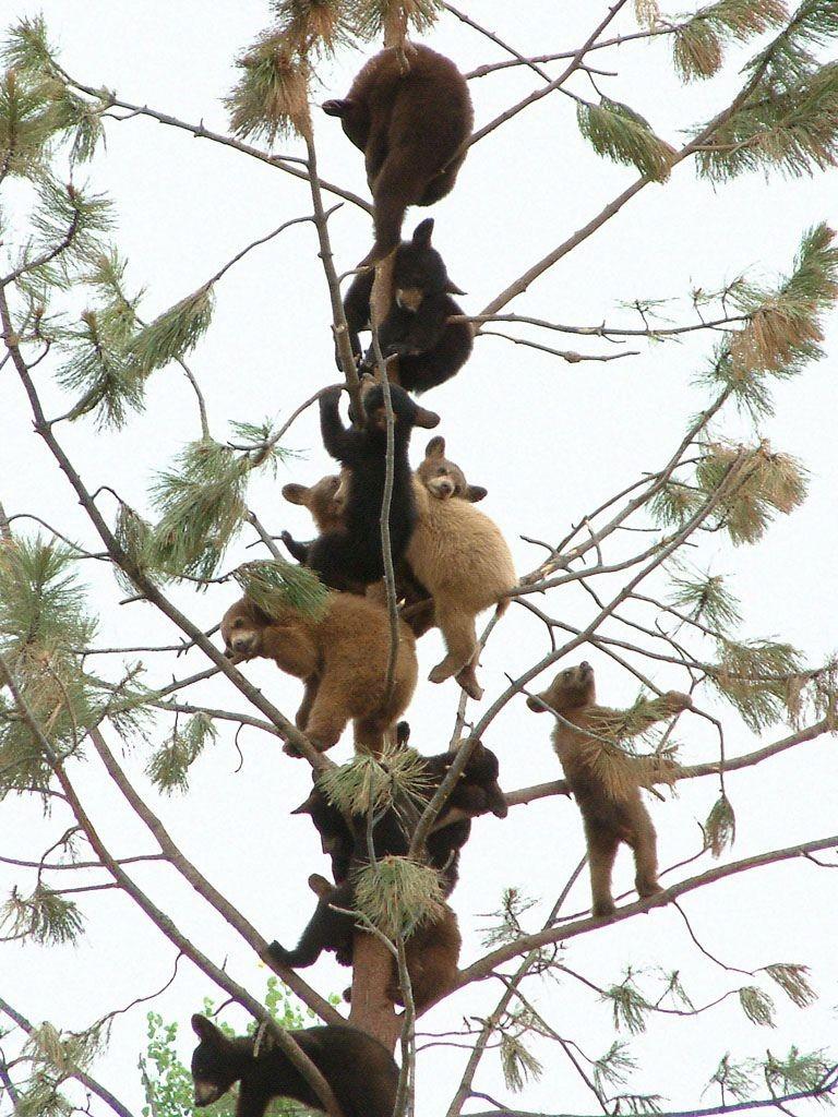Урожай медведей