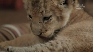 Animal Planet. �������� ����� / The Lion Queen [1-6 ����� �� 6] (2015) HDTV 1080i �� GeneralFilm