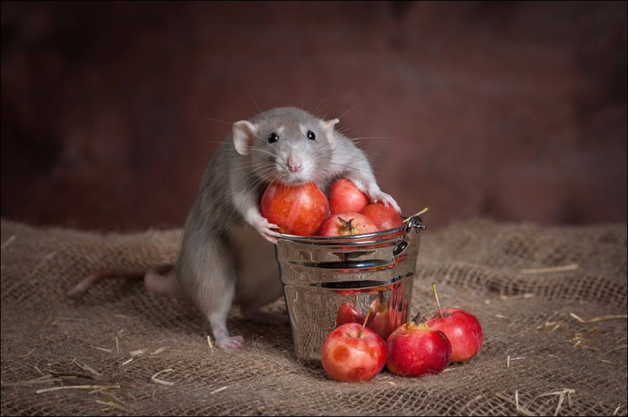 Крыса и урожай
