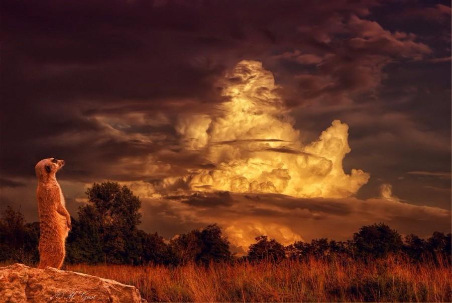 Сурикат и закат