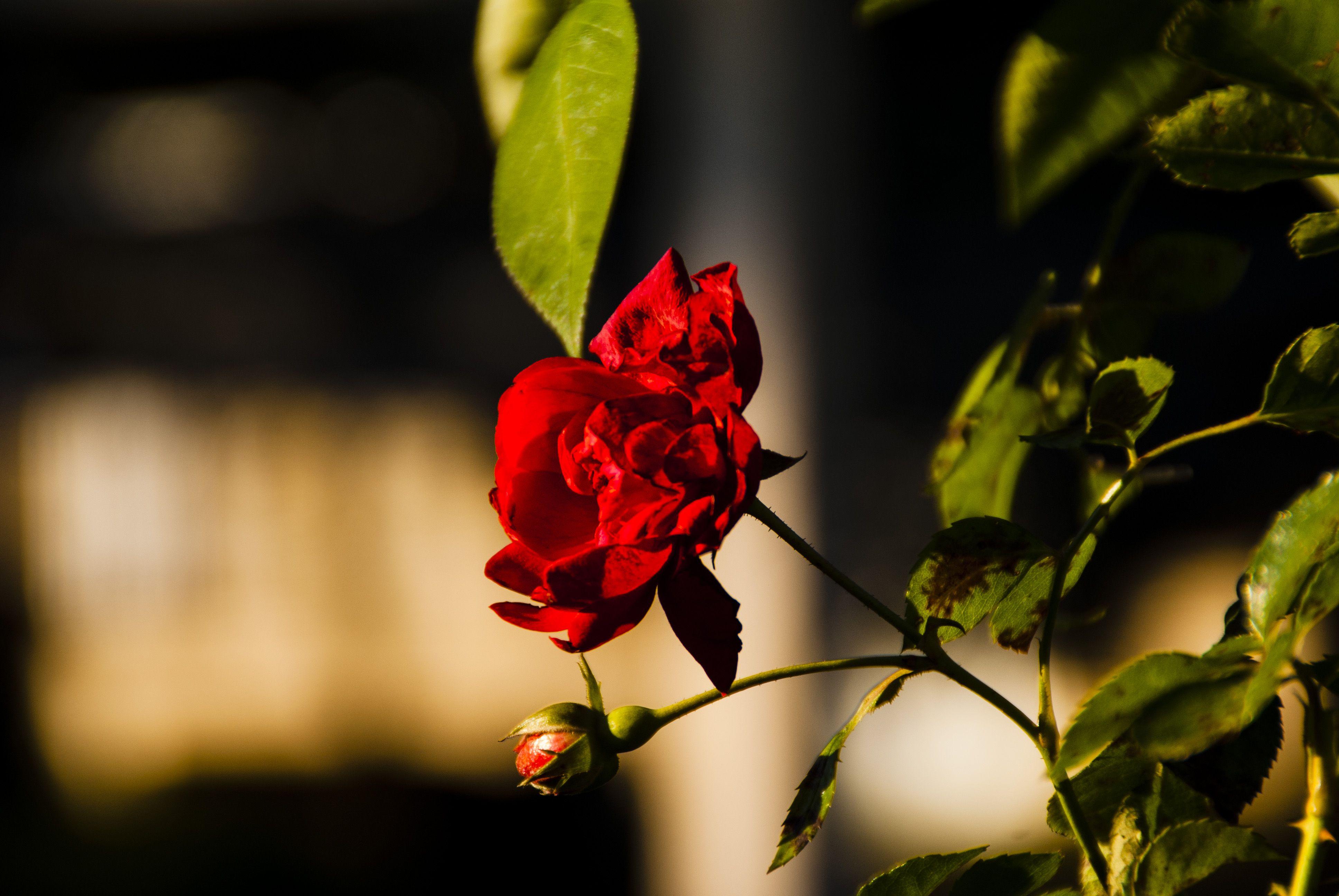 роза штамб.jpg