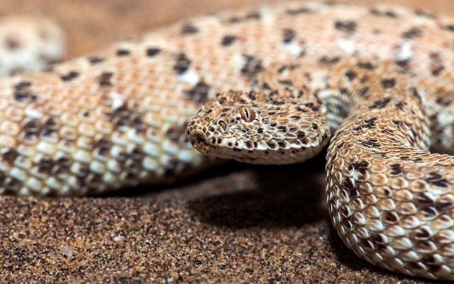 Пустынная змейка