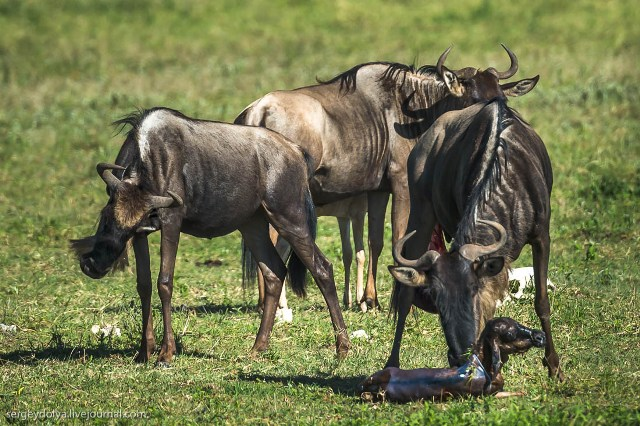 Роды антилопы Гну