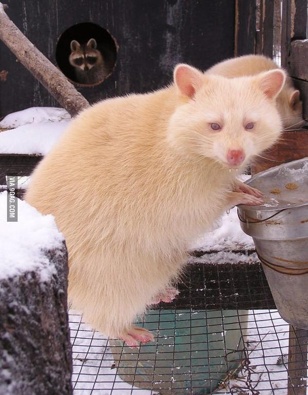 Енот-альбинос