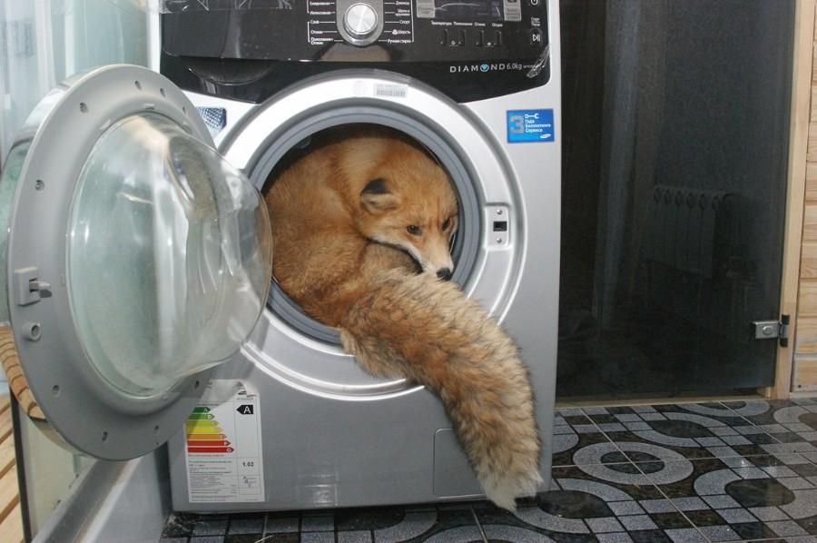 Лиса в стиралке