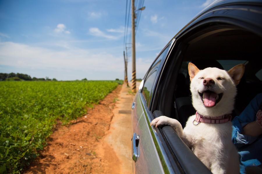 Довольный песька в авто