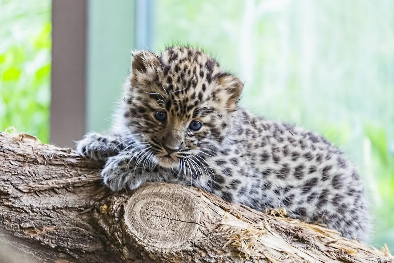 Амурский (дальневосточный) леопард