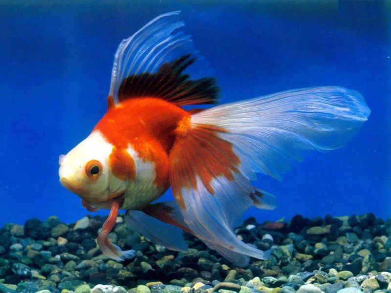 Difference Between Koi and Goldfish  Difference Between
